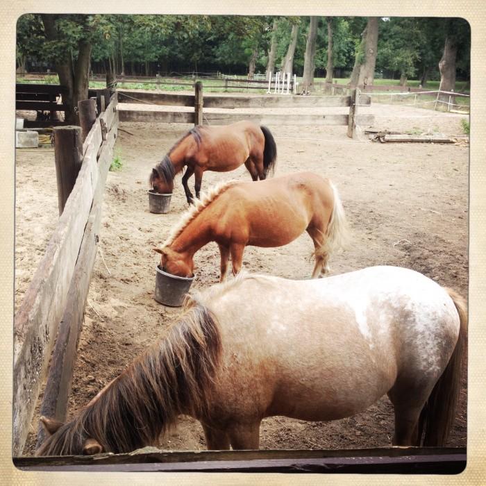 pony ponderosa